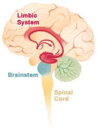 Brain limbicsystem.jpg